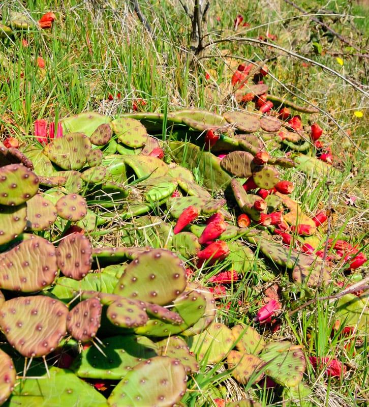 Biodiversità Opuntia Nana